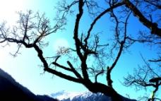 九寨风光 枯藤老树图片