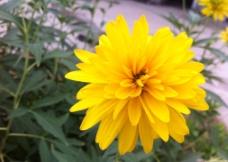 花 美丽黄色花图片