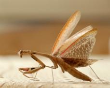 螳螂展翅图片