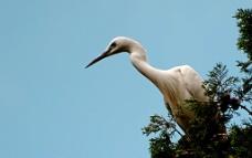 白鹭鸶图片