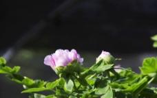 牡丹花蕾图片
