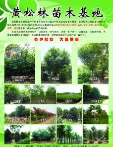 黄松林苗木基地图片