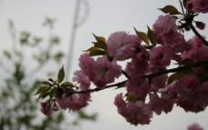 渭水樱花图片
