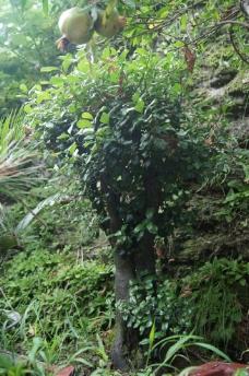 石榴盆景图片