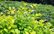香洲广场树叶图片