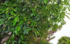 香洲广场 树叶图片