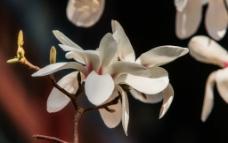 颐和园的白玉兰图片