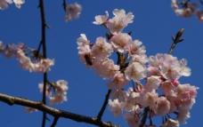 樱花与蜜蜂图片