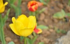 郁金香图片