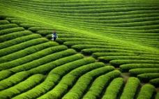 上山采茶图片