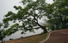 原生大树图片