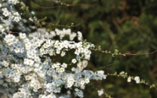 小白花 白色花图片