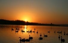 夕阳天鹅图片