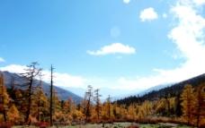秋天的杉树图片