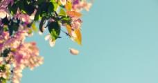春日桃花图片