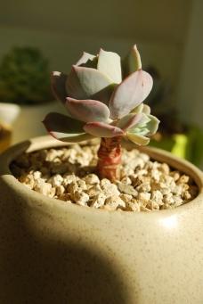 多肉植物 红粉台阁图片