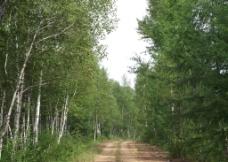 白桦林公路图片