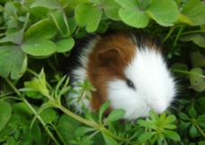 豚鼠 荷兰猪图片