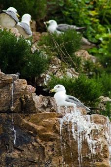 崖壁上的海鸥图片