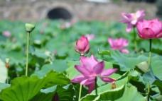 杭州 断桥 荷花图片