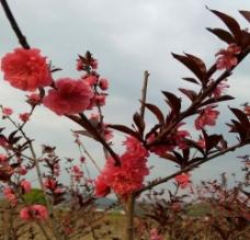 满园桃花图片