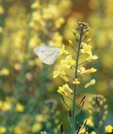 蝴蝶采花图片
