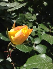 黄色的花蕊 月季图片