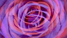 红紫玫瑰股票视频 视频免费下载