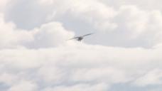 鹰翱翔在蓬松的白云,股票视频 视频免费下载