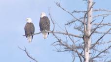 两个秃头鹰栖息在死树支股票的录像 视频免费下载