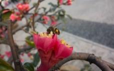 海棠花 蜜蜂图片