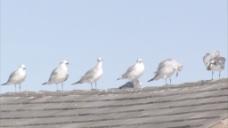 海鸥在屋顶股票视频站在一排