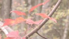 充满活力的红色秋天的树叶股票视频 视频免费下载