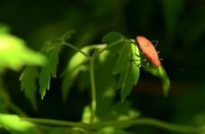 小红虫图片