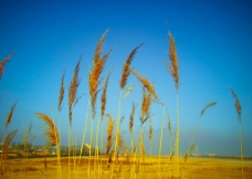 金色麦穗图片