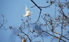 白鹭上青天图片