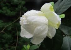 大叶牡丹栀子图片