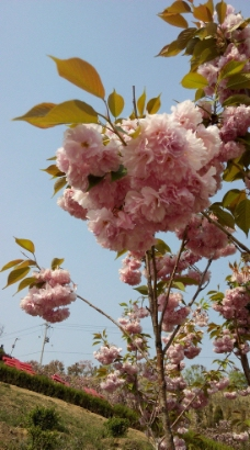 樱花盛开图片