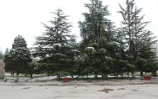 雪压青松图片