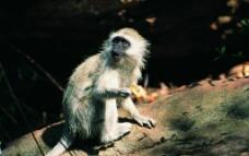 猩猩 猴子 猿猴图片