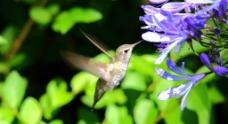 蜂鸟进食图片