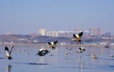 威宁草海野鸭图片