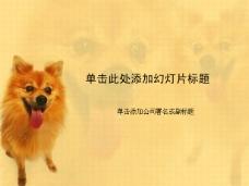 可爱金毛宠物小狗