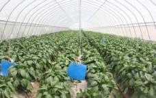大棚蔬菜图片