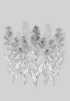 矢量线绘制flowers-35(花椰菜,云)