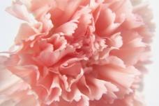 康乃馨  芍药图片