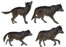 狼素材图片