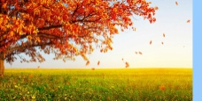 枫叶背景视频素材