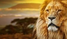 注视远方的狮子PSD素材