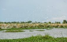 飞翔的牛背鹭群图片